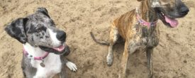 Penny and Miller – Two Rescue Danes Meet!